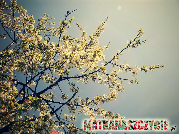 Kwitnące wiśnie