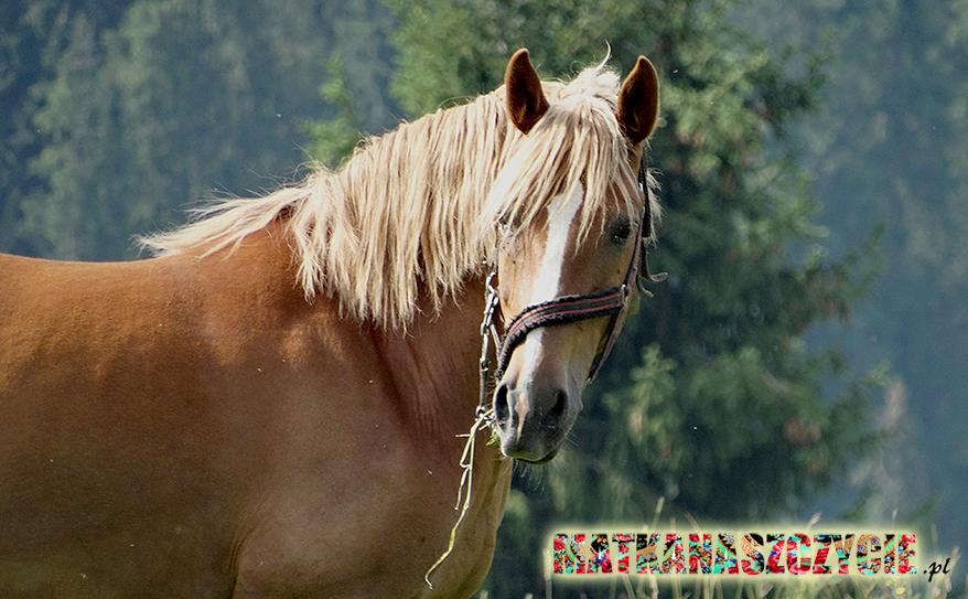 Koń Podhale