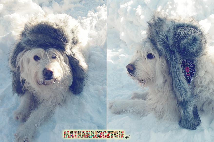 owczarek podhalański pies w czapce