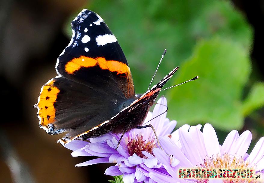 zdjęcie motyl makro