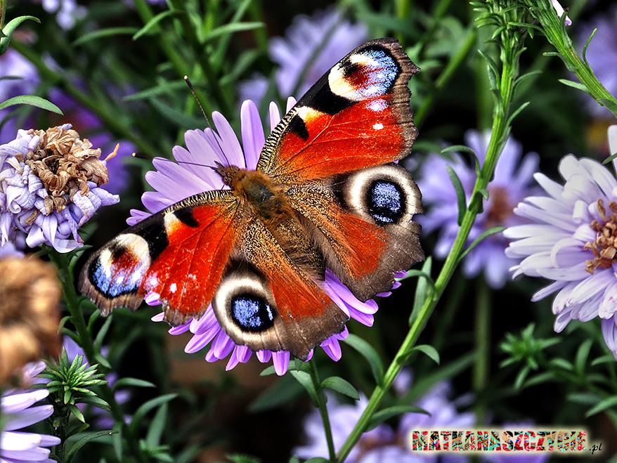 motyl na kwiatkach