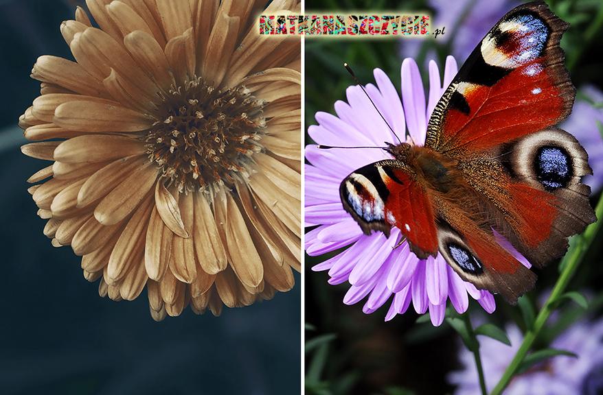 motyl jesień