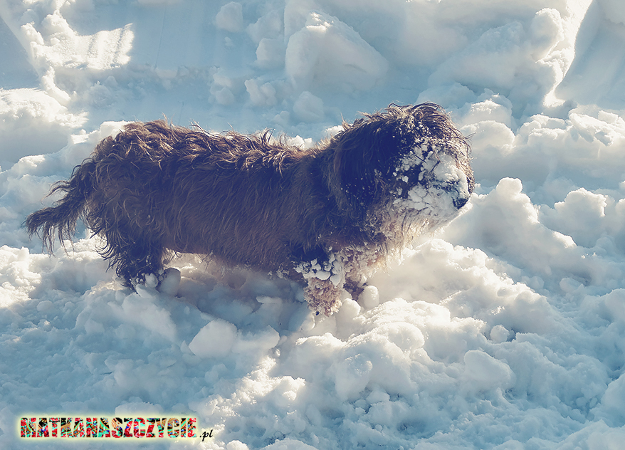 zimow pies jamnik w śniegu