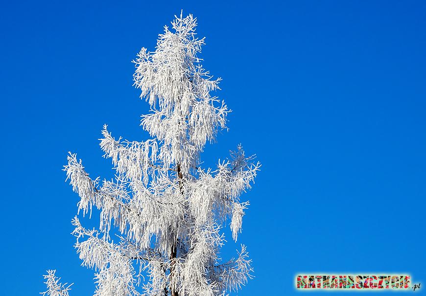 modrzew zimą